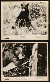 7h820 BEAR COUNTRY 3 8x10 stills R62 Disney True-Life Adventure, cool animal images!