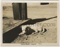 6d024 DOG'S LIFE 8x10.25 still R20s great close up of Charlie Chaplin's dog laying in dirt!