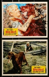7d058 BIG RED 8 color English FOH LCs 1962 Disney, Walter Pigeon, Irish Setter dog, cool images!