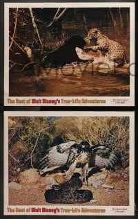 2r396 BEST OF WALT DISNEY'S TRUE-LIFE ADVENTURES 7 LCs 1975 powerful, primitive, cool animal images!