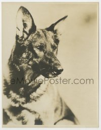 3h773 RIN-TIN-TIN deluxe 7.5x9.5 still 1920s the famous German Shepherd dog star with intense gaze!