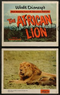 3g0025 AFRICAN LION 9 LCs 1955 Walt Disney's most amazing True-Life adventure feature, animal images!